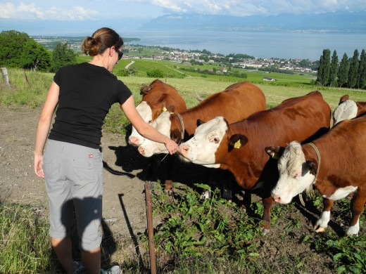 Robin Feeding the Swiss Cows