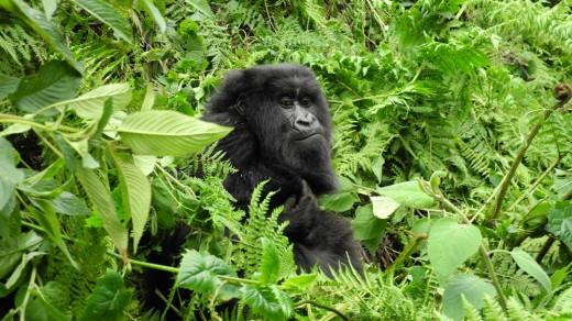 Peaceful gorilla