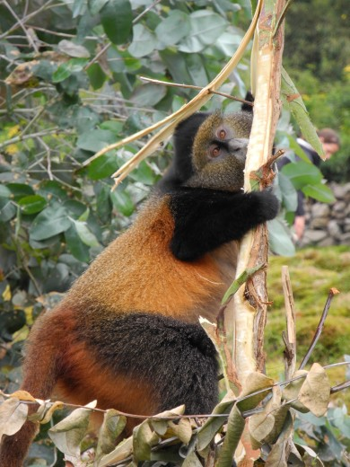 Rwandan Golden Monkey