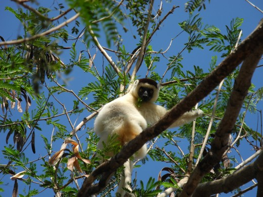 White lemur in a tree