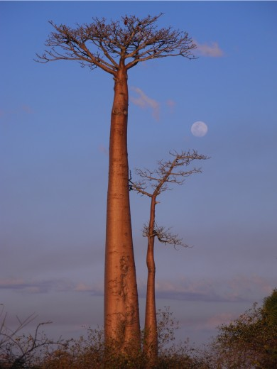 Baobabs and the Moon