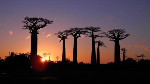 Baobabs @ Sunset