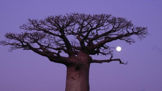 Baobab & the Moon