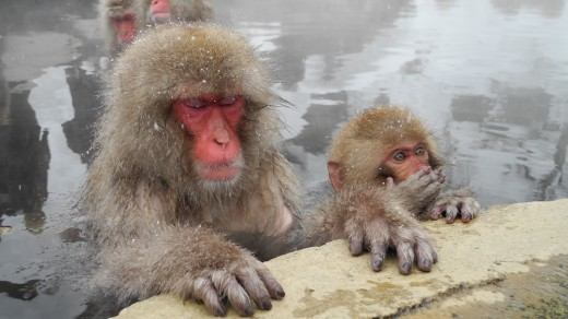 More Snow Monkeys