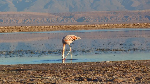 Chilean flamingo in the Atacama Desert