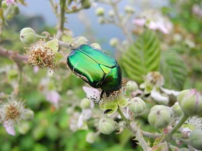 Beetle Above Corniglia