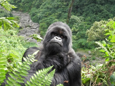 Who's a pretty gorilla?