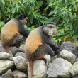 Rwanda's [Peaceful] Golden Monkeys