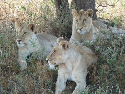Lioness and her cubs.
