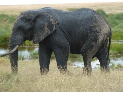 Post-mud bath elephant.