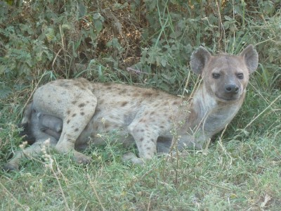 Poor hyena. So unfortunate-looking.