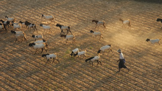 The goat herders take their flocks home for the night