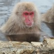 Waiter, Theres a Snow Monkey in my Hot Tub!